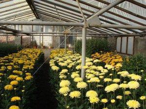 Преимущества и недостатки бизнеса по выращиванию цветов