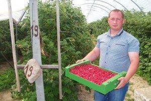 Как получать урожай малины в теплице круглый год?