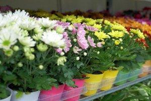 Варианты размножения хризантем в теплице