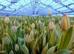 Посадка тюльпанов перед выгонкой