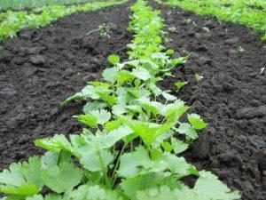 Технология выращивания укропа и петрушки в теплице