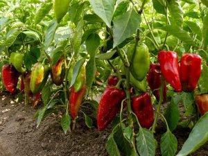 Какой сорт болгарского перца выбрать для посадки в теплицу?