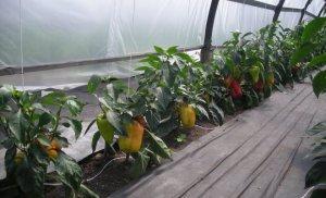 Особенности выращивания болгарского перца