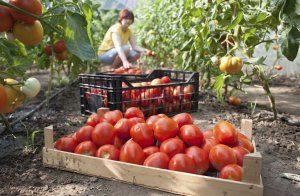 Сорт помидор для закрытого грунта