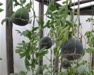 Что нужно знать о рассаде при посадке арбузов и дынь в теплицу?