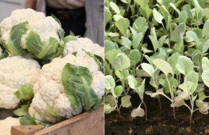 Какие сорта капусты лучше подходят для посадки в теплицу?
