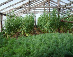 Выращивание укропа и петрушки в теплице