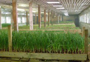 Какую зелень выгоднее выращивать в теплице для бизнеса?