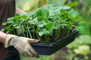 Секркты выращивания рассады баклажанов в теплице