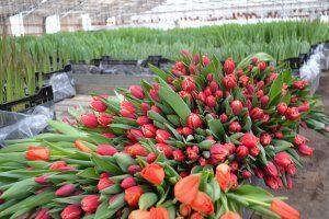 Какие сорта тюльпанов выбрать для выращивания их в теплице?