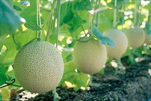 Особенности выращивания бахчевых в теплице