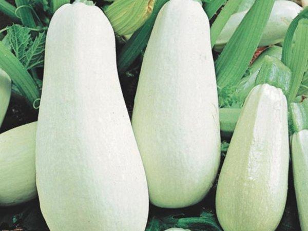 Кабачки сорт белоплодный фото №2