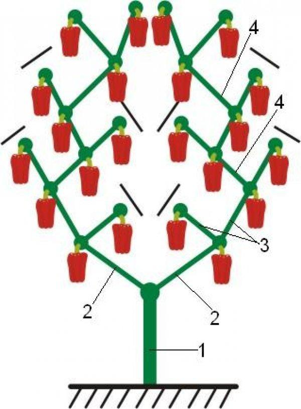 Схема структуры куста перца