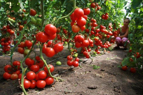 Сорт помидора Спрут