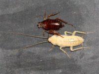 белые тараканы