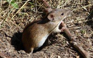 Полевая мышь: описание и фото
