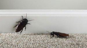 Откуда берутся тараканы в квартире? И как от них избавиться?