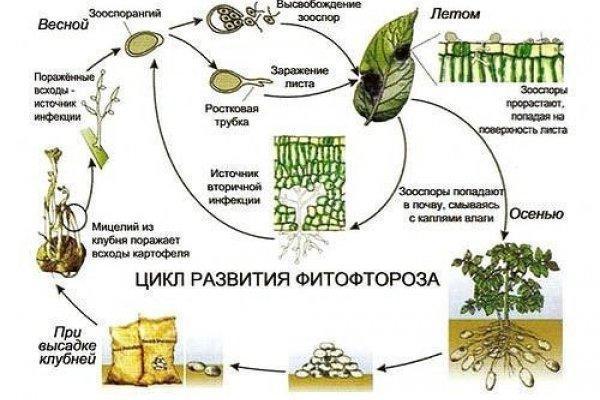 Tsikl-razvitiya-fitoftoryi_600x400