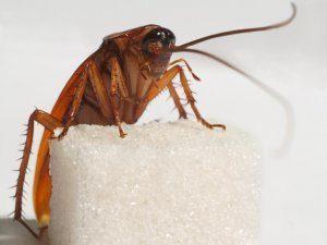 тараканы чем питаются