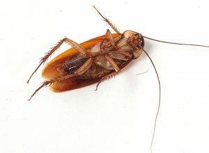 Тараканы в квартире: откуда берутся и почему размножаются?