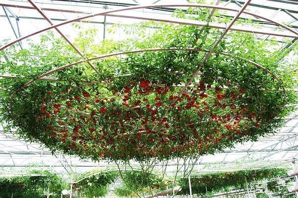 Крона томатного дерева Спрут F1
