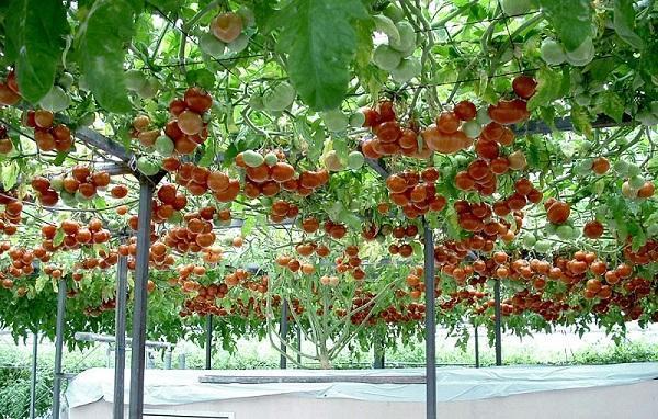 Балки для поддержания веток помидорного дерева Спрут F1