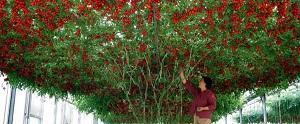 Собираем плоды с огромного томатного дерева Спрут F1
