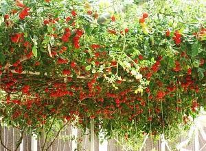 Богатый урожай томатов Спрут F1