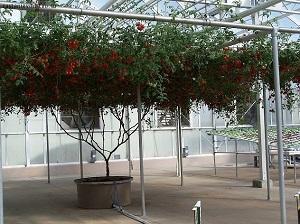 Томатное дерево Спрут F1 в теплице