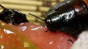 Сколько живут тараканы без еды?