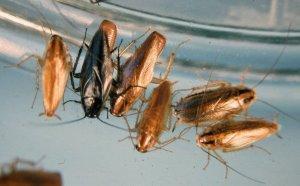 Как определить пол таракана?