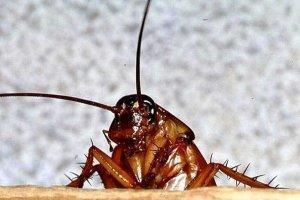 Кусаются ли рыжие тараканы?