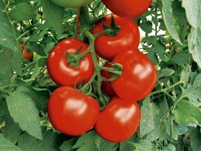 Посадка помидор в теплицу