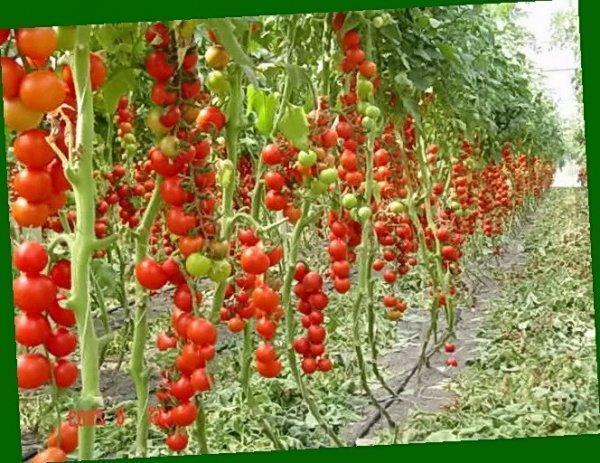 tomat_ajur_1