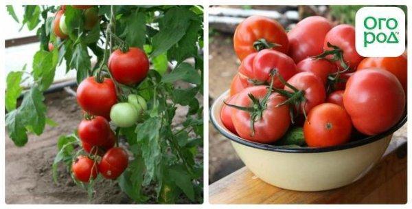 tomat_ajur_2