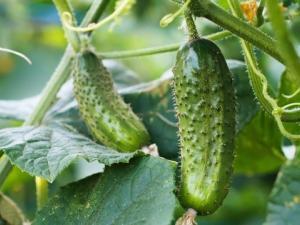Выращиваем огурцы в открытом грунте