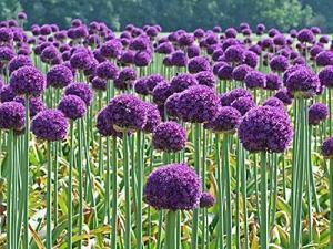 Когда сажать декоративный лук семенами