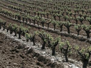 Как формировать виноградную лозу? - Уход