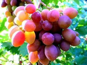 Рекомендации по удобрению винограда