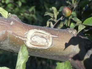 Садовый вар своими руками для заживления ран на деревьях