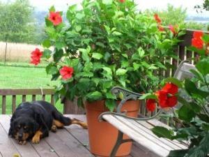 Гибискус как ухаживать в саду