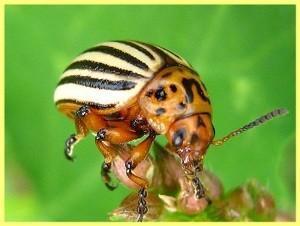 Лучшие препараты борьбы с колорадским жуком (часть 1)