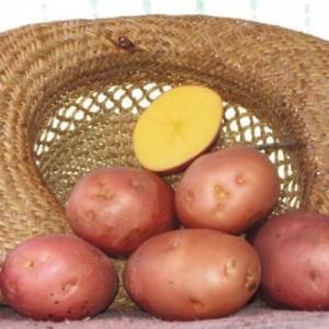 Картофель сорт белая роза характеристика — Зеленый мир