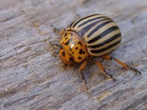 Где родина колорадского жука?
