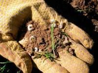 Борьба с личинкой майского жука