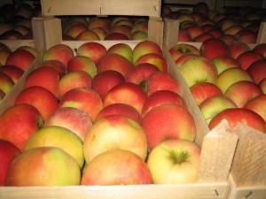 Как сохранить яблоки в погребе?