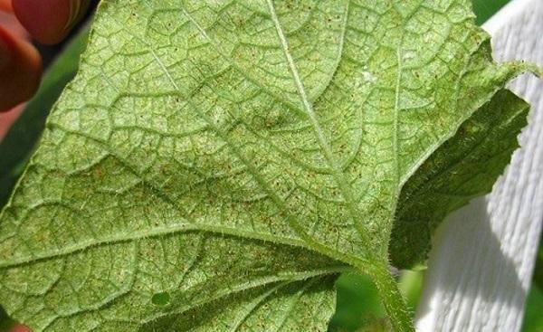 Паутинный клещ на баклажанах, помидорах и перце - как бороться? Фото вредителя и способы избавления