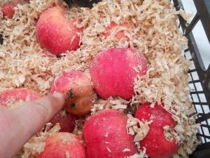 Как сохранить урожай яблок на зиму