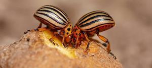 Откуда появился колорадский жук?