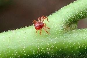 Виды паутинного клеща
